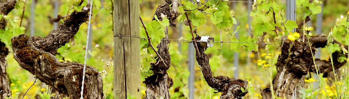 Vins Falguières, Domaine de l'Albinie
